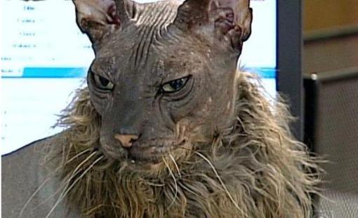 gato-mais-feio-do-mundo
